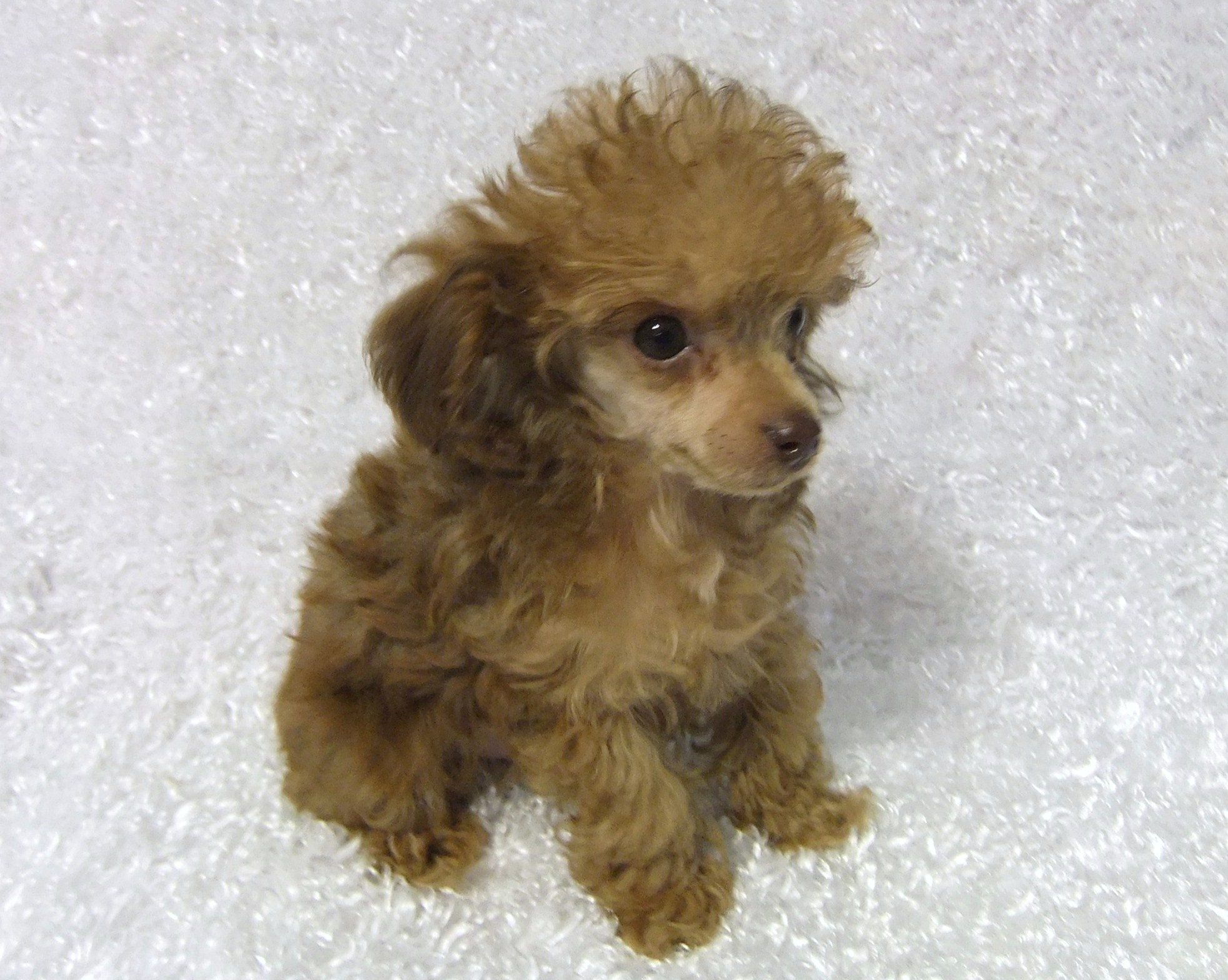 Teacup Poodle Puppies For Sale Breeder Ca PictureTeacup Poodle Apricot
