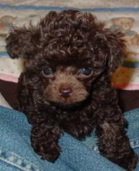 chocolate tiny teacup poodle