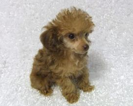apricot teacup poodle puppy