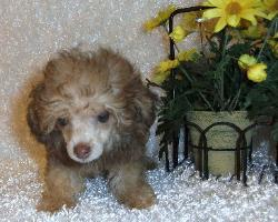sable teacup poodle