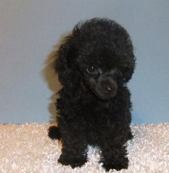 black teacup poodle