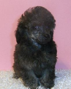 brindle toy poodle