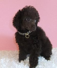 brown tiny toy poodle