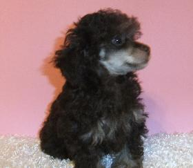 chocolate phantom poodle