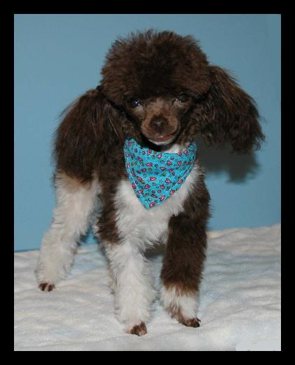 Our chocolate parti poodle  Cash
