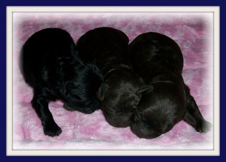 Red Teacup Poodle Puppy Newborn teacup poodles puppies