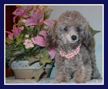 Ckc Toronto Teacup Poodle Breeder My Teacup Poodles