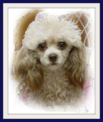 Red Teacup Poodle Puppy Teacup poodle silver beige