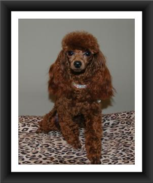 Red toy poodle toronto